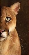 Cougar_1